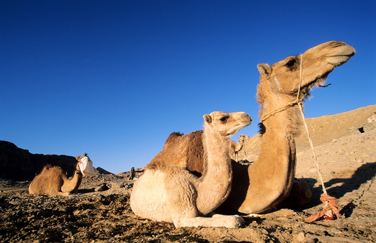 Three Camells