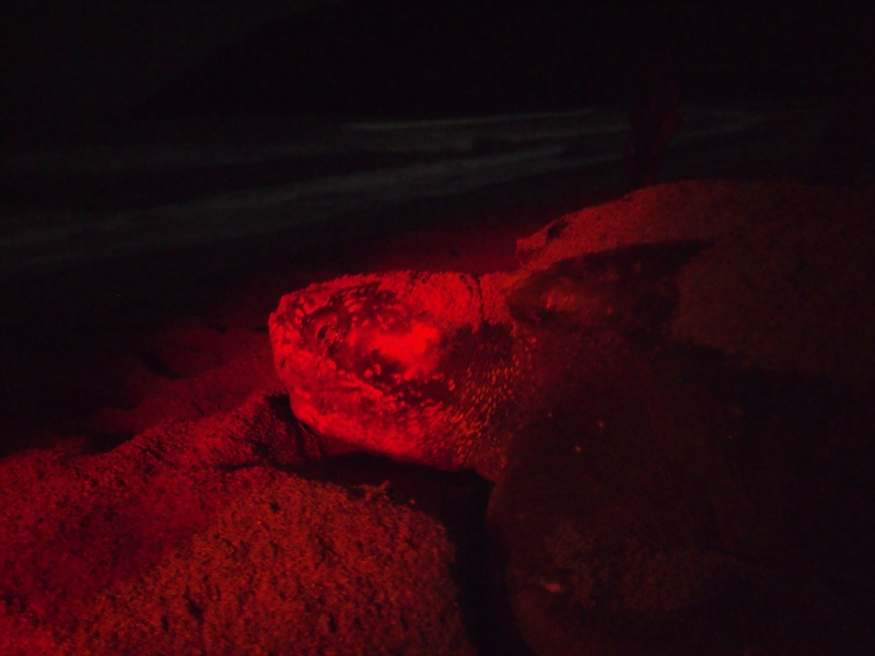An unforgettable experience in Trinidad, it is amazing watching these creatures hutching their eggs on the sandy beach.