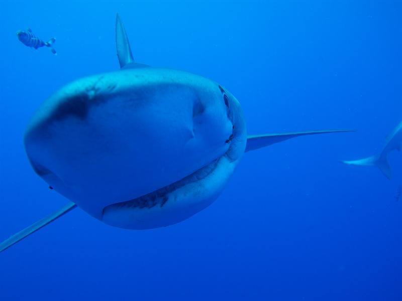 A very intriged Blue Shark just came to say hi on my Azores diving trip.
