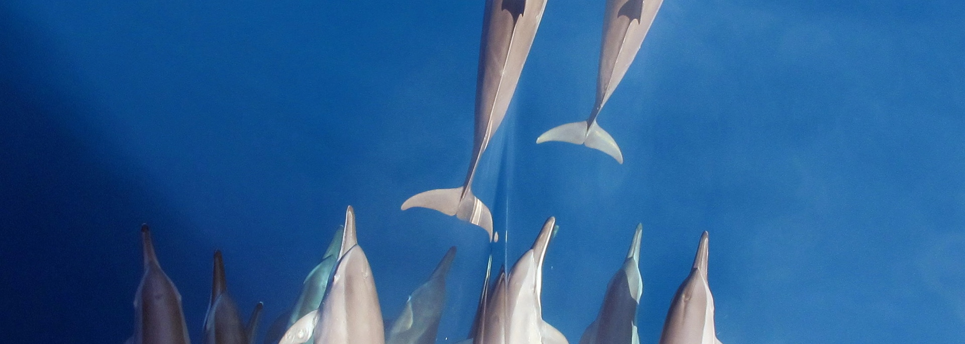 Group of Dolphins