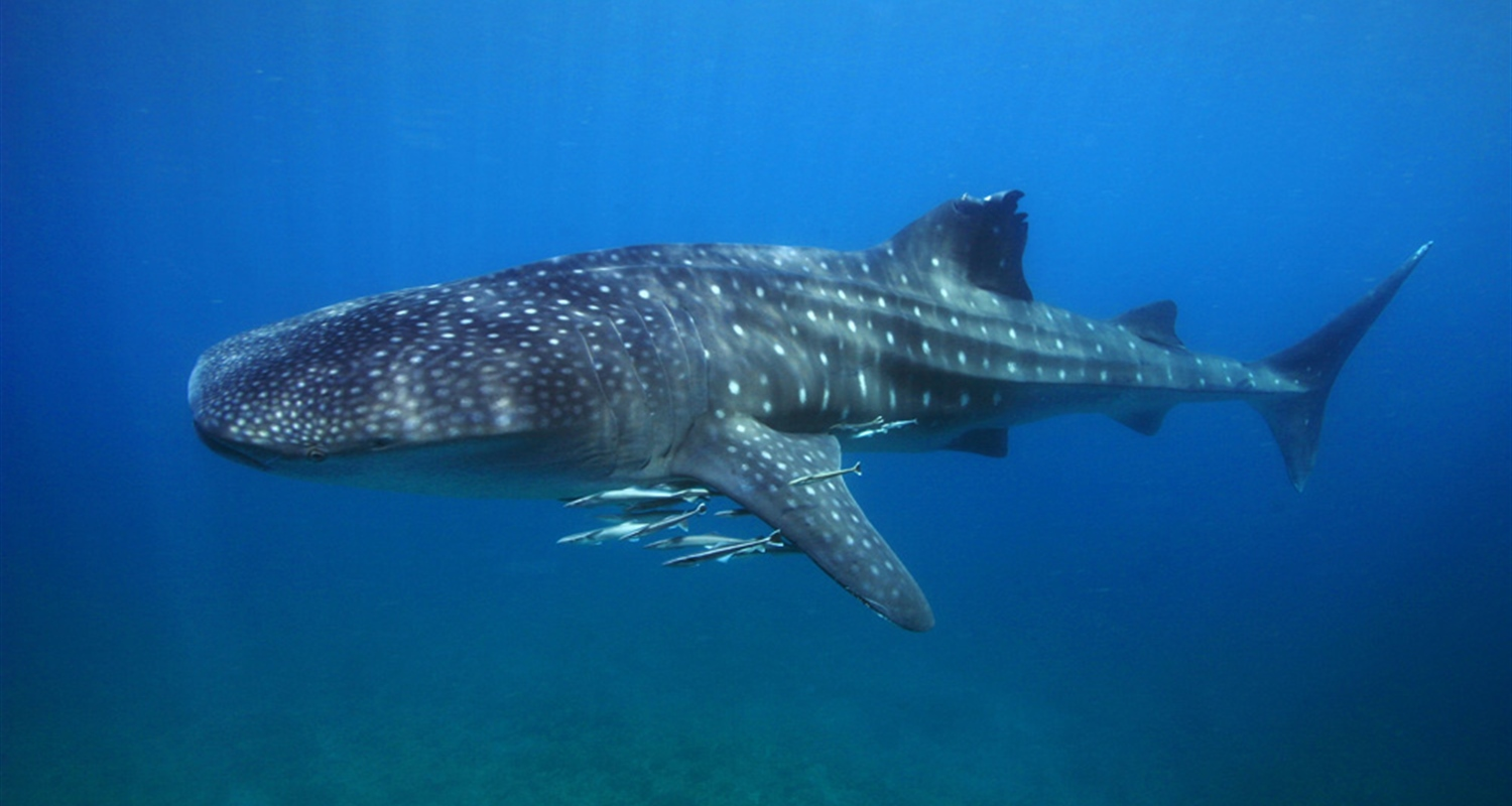 Snorkeling with the Whalesharks in Oslob