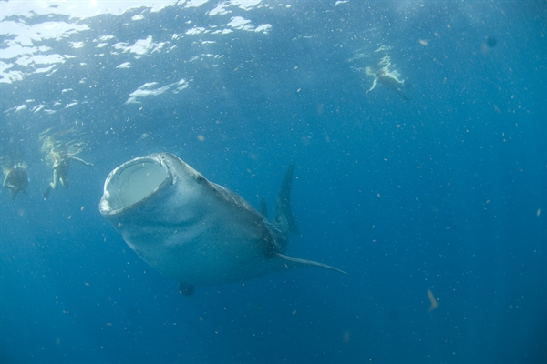 Whale Shark with Open Mouth