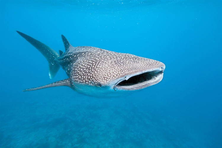 Maldives Whaleshark