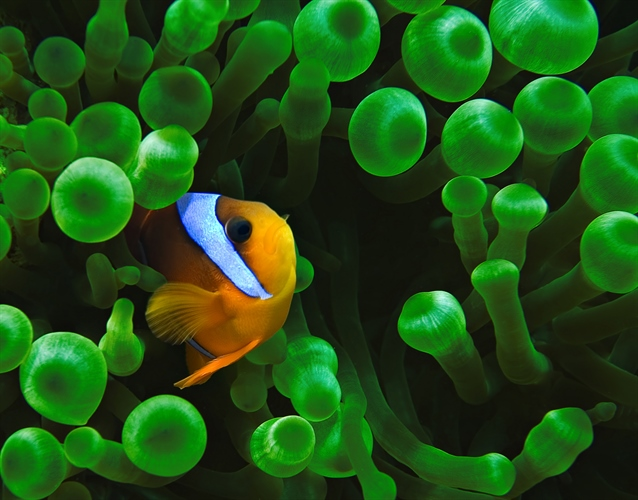 Red Sea Clownfish in Anenome