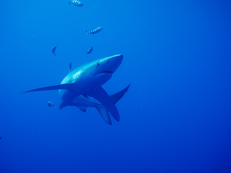 Getting up close and personal with the Blue Sharks in the Azores.