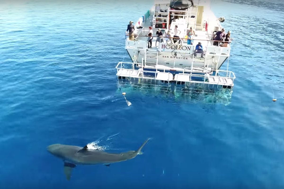 sharkdiving