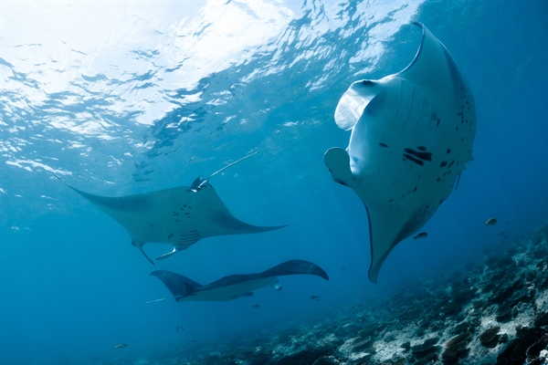 Maldives Mantas